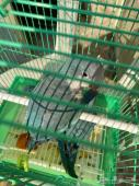 طيور كويكر ازرق