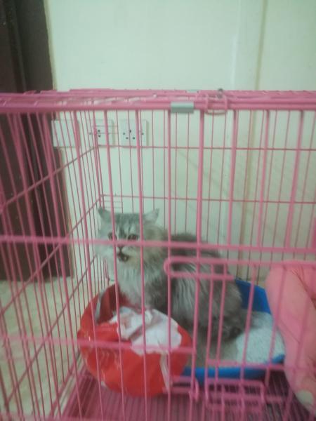 يوجد قطه شيرازى امريكى ذكر