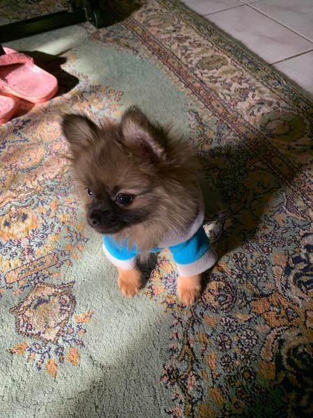 للبيع كلب بومرينيان Pomeranian