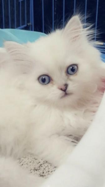 قطه شانشيلا شيرازي